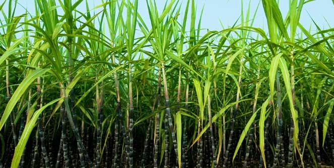 sugarcane3
