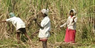 sugarcane4