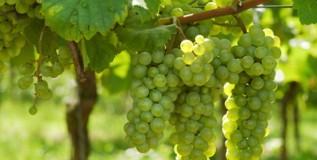 दुष्काळाचा फटका; द्राक्ष उत्पादन घटले