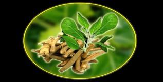 अश्वगंधा : अष्टपैलू गुणधर्माची औषधी वनस्पती