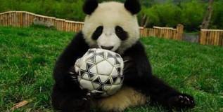 फुटबॉल वर्ल्डकपची भविष्यवाणी करणार पांडाची पिले