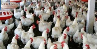 कोंबडी पालनातील पथ्ये