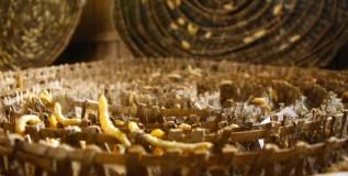 फायदेशीर पण दुर्लक्षित रेशीम उद्योग
