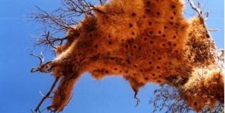 पक्ष्याच्या घरट्यांनी कोलमडतात झाडे