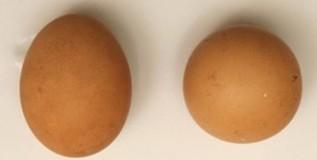 आश्चर्य ! कोंबडीच्या अंड्याची तब्बल ४६ हजारांना विक्री