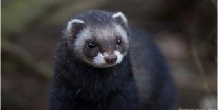 दुर्मिळ प्रजातीतील उदमांजर ब्रिटनमध्ये आढळले