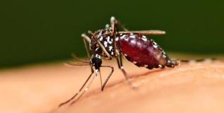 आता डासच करणार 'मलेरिया'चा प्रतिबंध