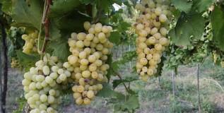 गारठ्यामुळे द्राक्ष उत्पादकांना तब्बल दीडशे कोटींचा फटका!