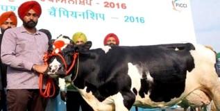 ही गाय दरदिवशी देते ६६.७ लीटर दूध