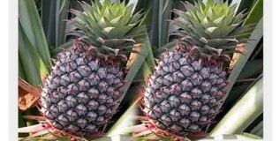 कारपेक्षाही महाग अननस