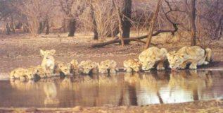 गीर जंगलात एकाचवेळी १०० सिंहीणी गर्भिणी