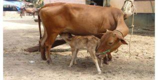 स्वदेशी गाईंना मिळणार ओळखपत्रे