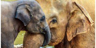 हत्तींच्या पिलांना मिळते आजीची माया