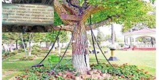 गेली ११८ वर्षे हे झाड आहे अटकेत
