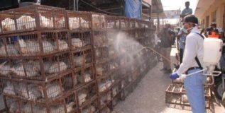 दिल्लीतील कोंबड्यांना फिटनेस प्रमाणपत्र आवश्यक