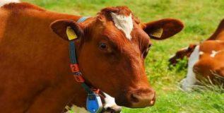 आजारी गाय मालकाला पाठविणार मेसेज