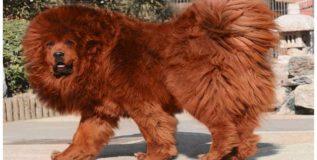 जगातील महागडा कुत्रा, किमत फक्त १४ कोटी