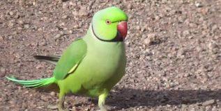 पोपटाला शोधण्यासाठी 25 हजारांचे ईनाम