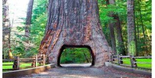 पोटात बोगदा असलेला प्राचीन वृक्ष कोसळला