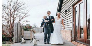 विवाहाच्या वर्हाडात आले पेंग्विन