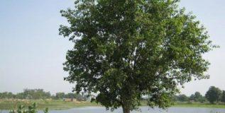 मध्यप्रदेशातील व्हीआयपी झाडाच्या सुरक्षेसाठी तैनात असतात सशस्त्र जवान