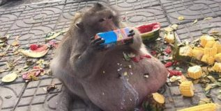 जंक फूड खाल्लेल्या गलेलठ्ठ माकडाला आता 'एकादशी'