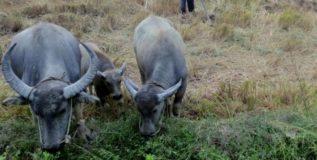 buffelos