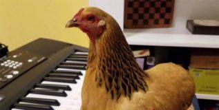 चक्क कोंबडी वाजवते पियानो  !