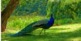 राष्ट्रीय पक्षी मोरासंबंधी कांही