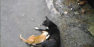 चक्क कुत्रीच करत आहे मांजराचे संगोपन !
