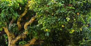 आंब्यांइतकीच आंब्याची पानेही गुणकारी