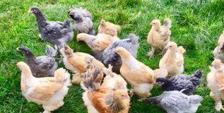 आता कोंबड्या देणार औषधी अंडी!