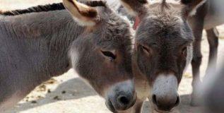 चीनमध्ये गाढवांना प्रचंड मागणी