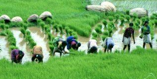 क्षारपड जमिनीत तांदळाचे उत्पादन