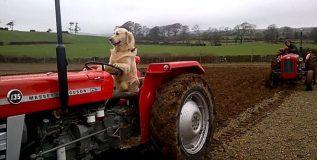 शेतात मालकाला अशी मदत करतो 'हा' कुत्रा