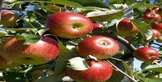सफरचंद खा पण बियांपासून सावध रहा