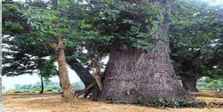 भारतातील हा आहे वयोवृद्ध वृक्ष – वय अवघे १४०० वर्षे