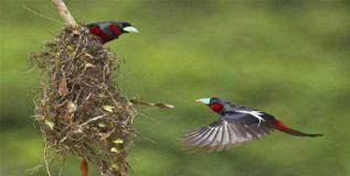 हा पक्षीही घरट्यात लावतो दिवे