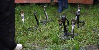 चीनमधील हे खेडे करते 30 लाख सापांची 'शेती'