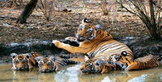 बांधवगड मधील वाघ, अनोखी विष्णू मूर्ती आणि किल्ला