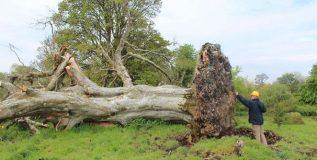 २१५ वर्षे जुन्या कोसळलेल्या झाडाच्या मुळांमध्ये सापडली हाडे