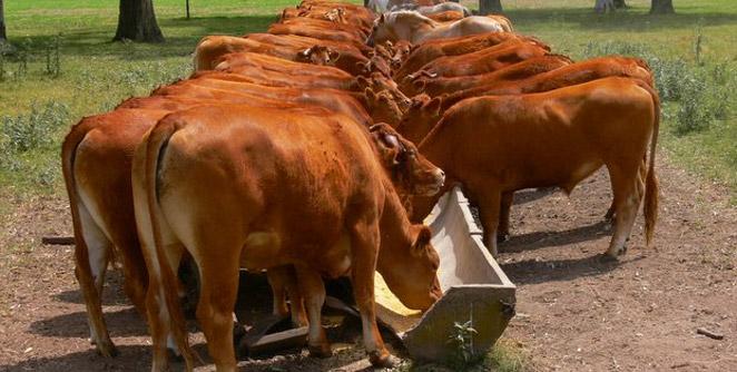 cowfeed