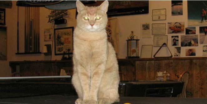 चोरट्या मांजरीमुळे वैतागले नागरिक