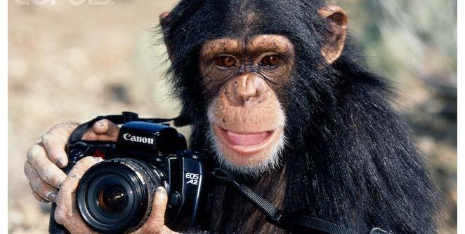 चिपांझीने काढलेल्या फोटोंचा लिलाव