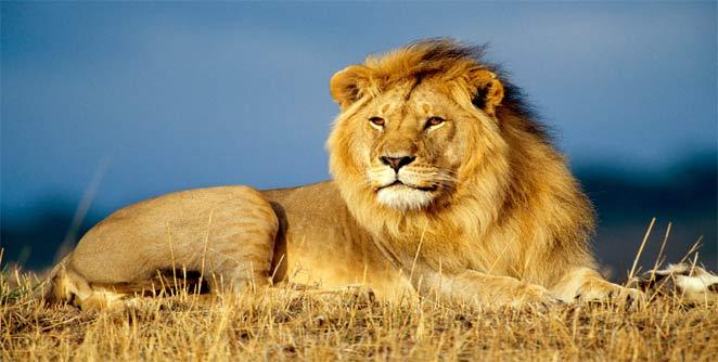 त्यांनी हौस म्हणून १० लाखाचा सिंह पाळलाय